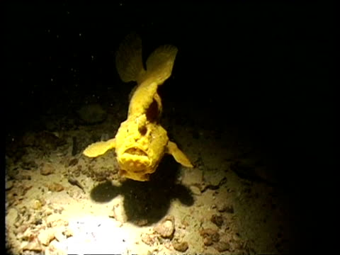 vidéos et rushes de cu giant frogfish swimming over wreck at night to camera, turns to side view, mabul, borneo, malaysia - organisme aquatique