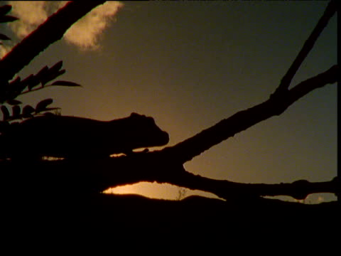 vidéos et rushes de giant gecko clambers along branch at dawn, new caledonia - dom tom