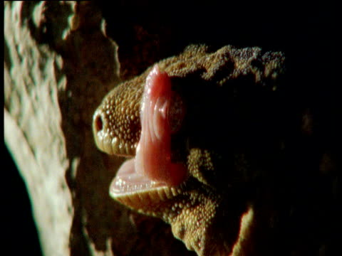 giant gecko licks its eyeball and retreats at night - french overseas territory stock videos & royalty-free footage
