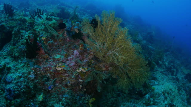 giant gorgonian coral (sea fan) in the reef - gorgonian coral stock videos & royalty-free footage