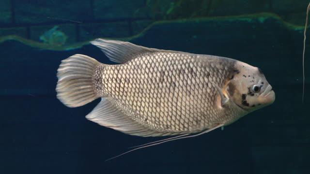 riesen-gourami-fische (osphronemus goramy) schwimmen in einem teich. - teich stock-videos und b-roll-filmmaterial