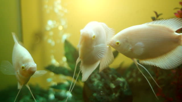 Giant Gourami in the water