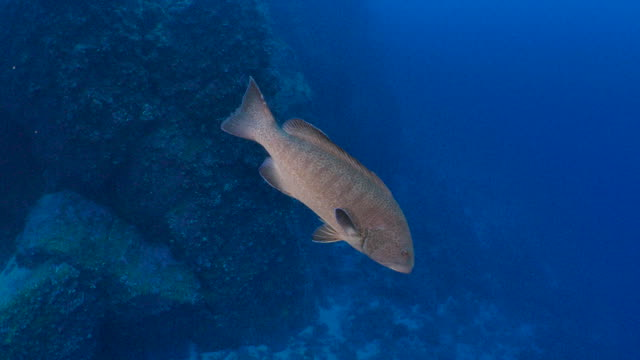 Giant grouper fish swimming close to camera