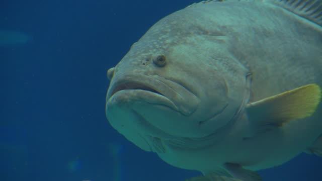 cu giant grouper (epinephelus lanceolatus) swimming in georgia aquarium / atlanta, georgia, usa - tier in gefangenschaft stock-videos und b-roll-filmmaterial