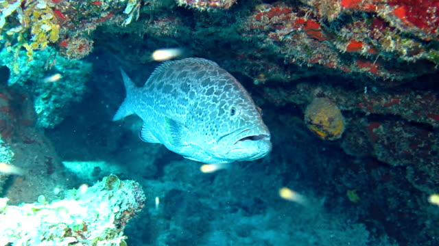 Giant grouper under a ledge, Gardens of The Queens Marine Park, Southern Cuba.