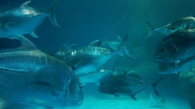vídeos de stock e filmes b-roll de giant groupers - grupo médio de animais