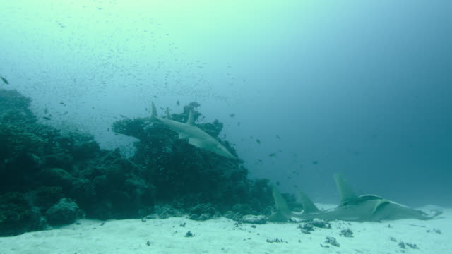 giant guitarfish swims round another resting on seabed, indian ocean. - remora fish stock videos & royalty-free footage