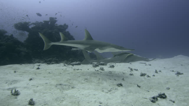 giant guitarfish swims round another resting on seabed, indian ocean. - seabed stock videos & royalty-free footage