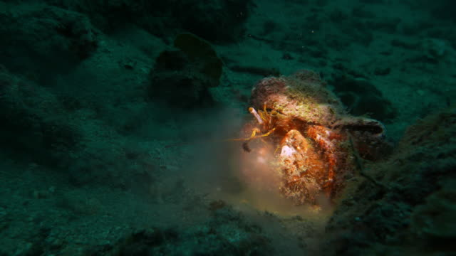 giant hermit crab undersea - hermit crab stock videos & royalty-free footage