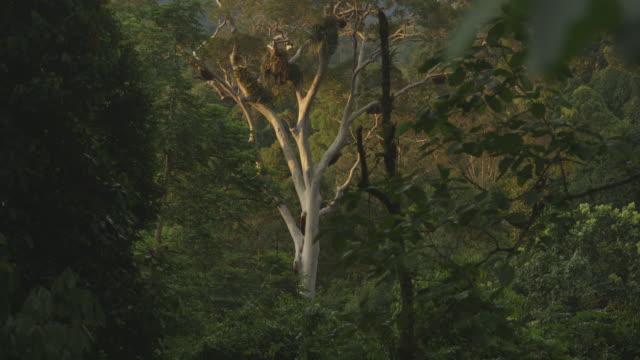 giant honey bee colonies in tree - tilt up stock videos & royalty-free footage