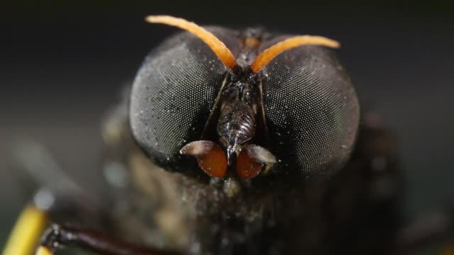 giant horsefly (family tabanidae) resting on a leaf. filmed in the ecuadorian amazon - zweiflügler stock-videos und b-roll-filmmaterial