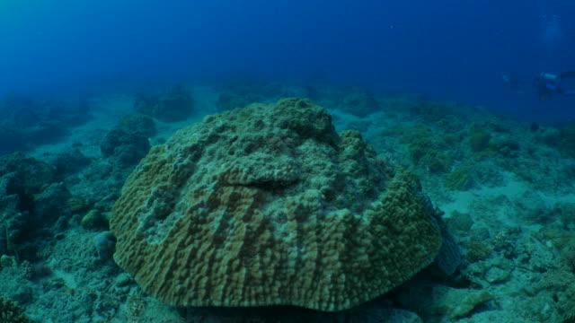 Giant Hump Coral undersea, Taiwan