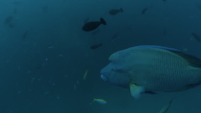 giant humphead napoleon wrasse swimming at deep sea in maldives - humphead wrasse stock videos & royalty-free footage