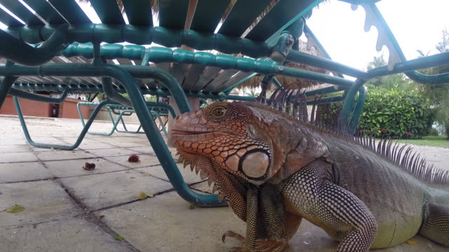 Giant Iguana under a lawn chair flicks its tongue towards the camera then a lady feeds it fruit and father, son and daughter look on.