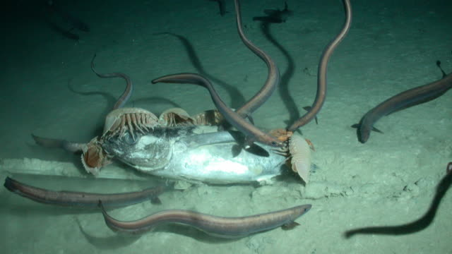 Giant isopods crabs and deep-sea eels create a frenzy as they scavenge a tuna carcass leaving only its skeleton. Available in HD.