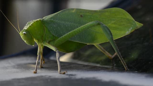 giant katydid. - ecosystem stock videos & royalty-free footage
