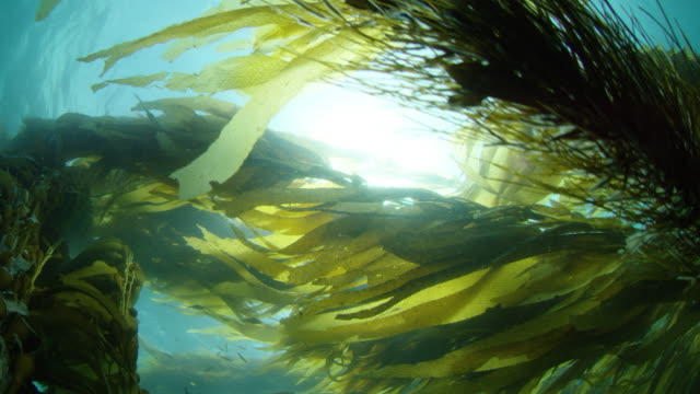 giant kelp forest - seetang stock-videos und b-roll-filmmaterial