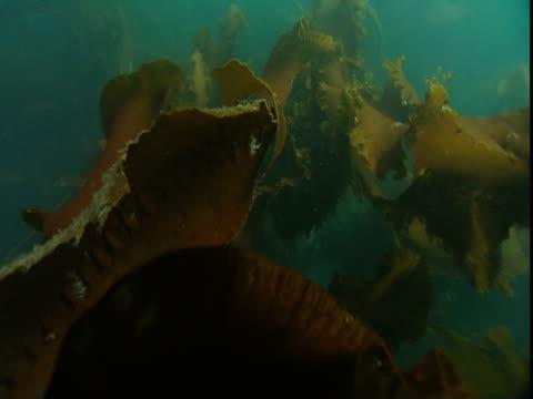 giant kelp ripples in the ocean's currents. - kelp stock-videos und b-roll-filmmaterial