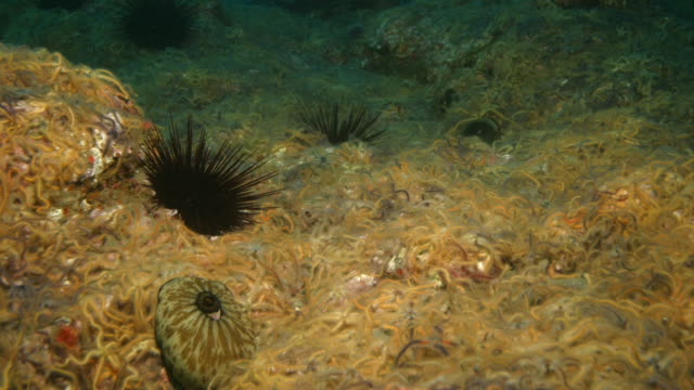 giant keyhole limpets move through brittle stars and past sea urchins on the ocean floor. available in hd. - ricci di mare video stock e b–roll