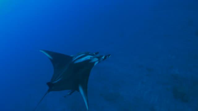 giant manta ray swimming close to camera - manta ray stock videos and b-roll footage