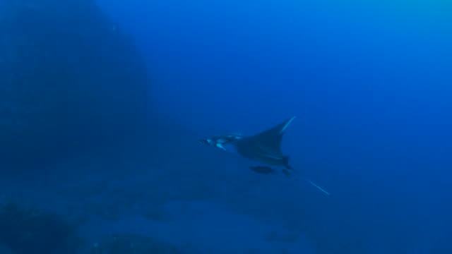 giant manta ray swimming in open water - manta ray stock videos & royalty-free footage