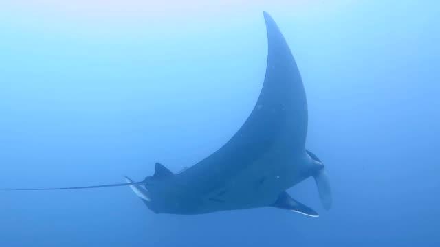 giant mantor simmar i blått - andamansjön bildbanksvideor och videomaterial från bakom kulisserna