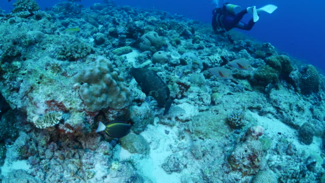 giant marbled grouper fish hiding in coral reef - grouper stock videos & royalty-free footage