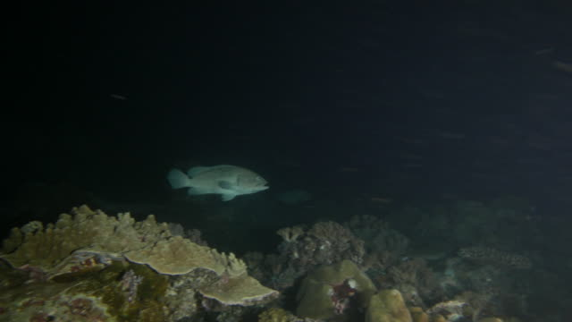 Giant Marbled grouper fish in night reef undersea