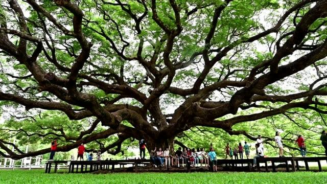 vidéos et rushes de giant monkey pod tree green leaves and tree branches, kanjanaburi, thailand. - séquoia géant