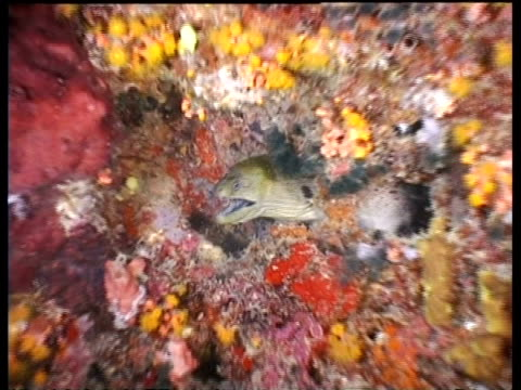 vidéos et rushes de giant moray eel, amongst coral, zoom in to cu, sipadan, borneo, malaysia - organisme aquatique