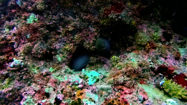 giant moray eel at diving on maldives - moray eel stock videos and b-roll footage