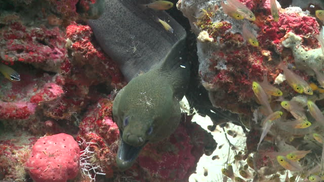 giant moray eel (gymnothorax javanicus) being cleaned by several clear cleaner shrimps (urocaridella antonbruunii), surrounded by school of golden sweepers, baa atoll, the maldives - グラスフィッシュ点の映像素材/bロール
