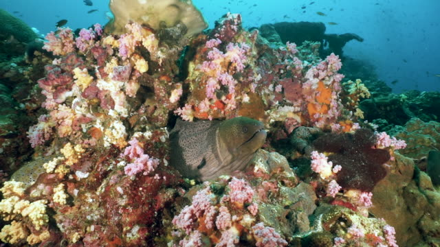 giant moray eel (gymnothorax javanicus) camouflaged in colorful underwater coral reef - scuba diver point of view stock videos & royalty-free footage