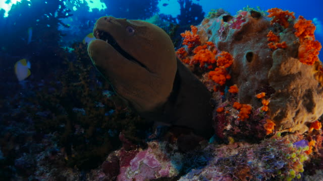 giant moray eel, coral reef, banda sea, indonesia - moray eel stock videos and b-roll footage