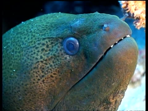 cu giant moray eel head, opens mouth, teeth visible, derawan, celebes sea, indonesia - moray eel stock videos and b-roll footage