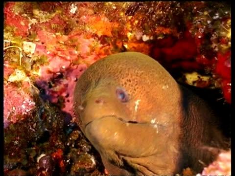 cu giant moray eel, head sticking out of hole, cleaner shrimps, sabah, borneo, malaysia - ウツボ点の映像素材/bロール