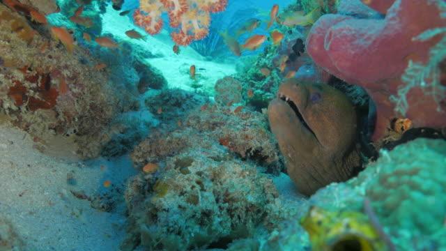 giant muränor gömmer sig i korall hålet undervattenskablar - dykarperspektiv bildbanksvideor och videomaterial från bakom kulisserna
