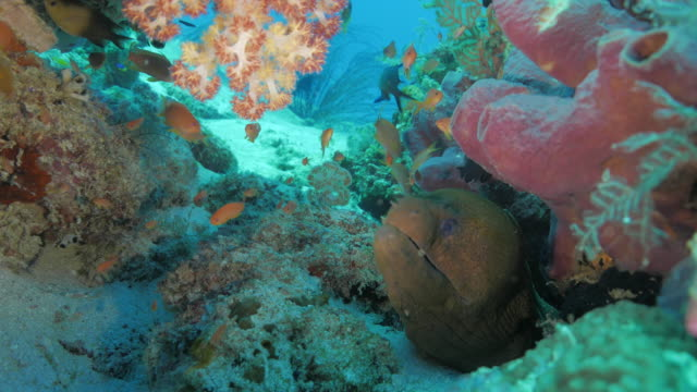 giant moray eel hiding in the coral reef - moray eel stock videos and b-roll footage