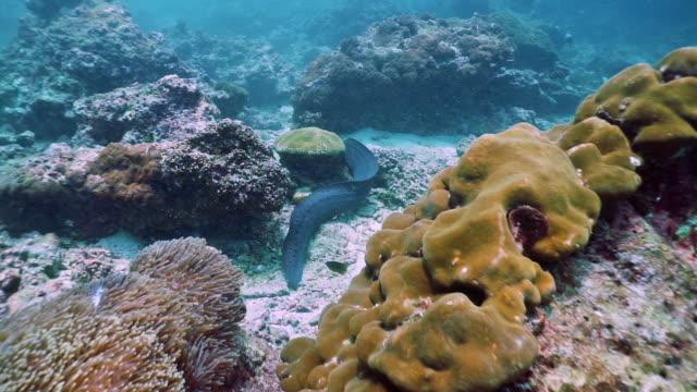 giant moray eel hunting on coral reef underwater animal behaviour - animal behaviour stock videos & royalty-free footage