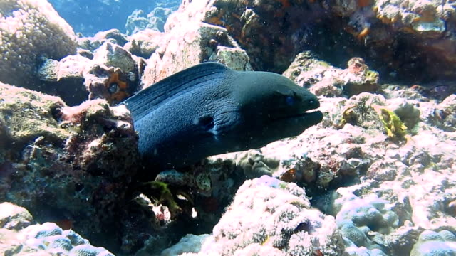 Giant Moray Eel (Gymnothorax javanicus) in Coral Reef.