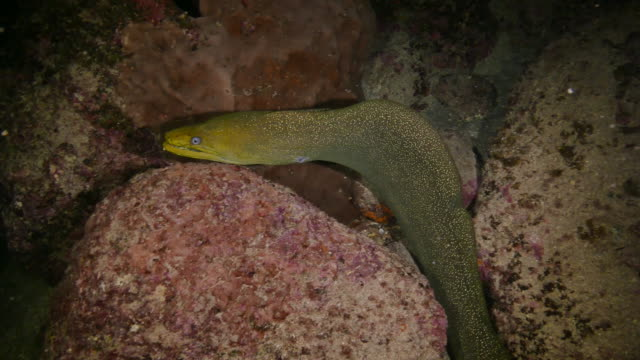 giant moray eel swimming at undersea night reef, galapagos - moray eel stock videos and b-roll footage