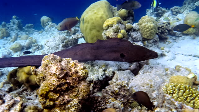 Giant moray eel swimming on coral reef - Maldives