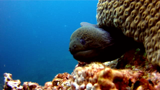 giant moray eel (gymnothorax javanicus) under hard coral reef, koh haa, andaman sea, krabi, thailand. - moray eel stock videos and b-roll footage