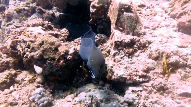 giant moray eel (gymnothorax javanicus) under hard coral reef, koh haa, andaman sea, krabi, thailand. - hard coral stock videos & royalty-free footage