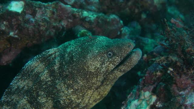 Giant moray eel undersea