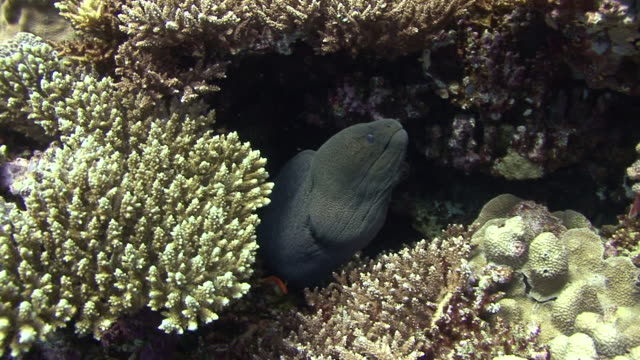 giant moray eel - moray eel stock videos & royalty-free footage