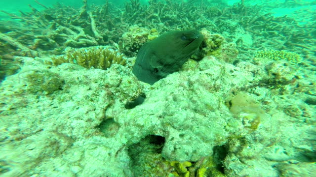 giant moray eel - moray eel stock videos and b-roll footage