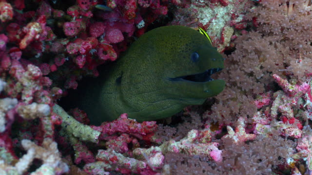 vídeos de stock, filmes e b-roll de cu giant moray in reef being cleaned / layang layang, sabah, malaysia - moreia