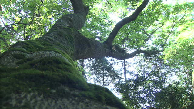 A giant, mossy beech tree reaches into a bright sky.