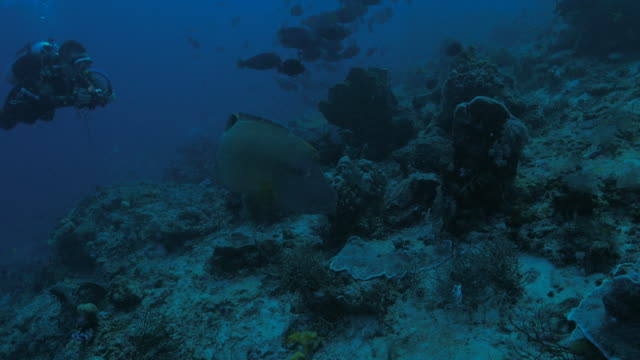 giant napoleon humphead wrasse fish undersea - humphead wrasse stock videos & royalty-free footage